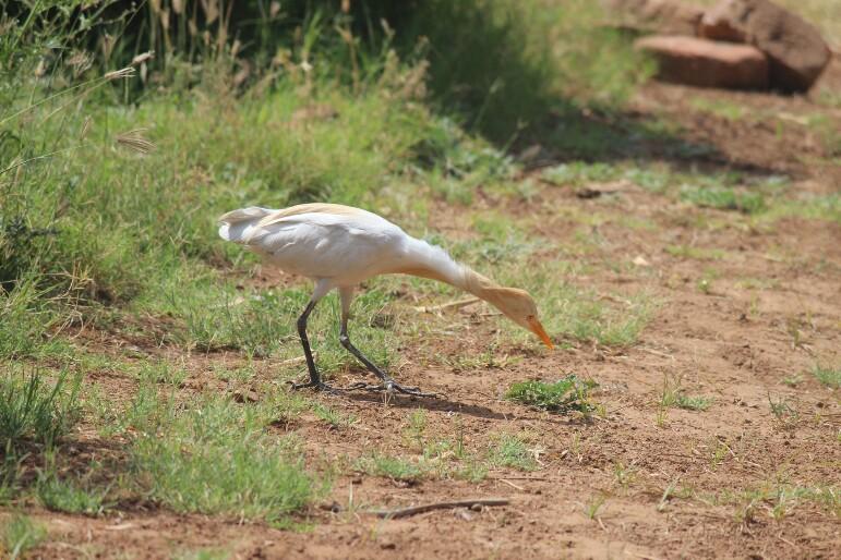 બગલો | सुरखिया | Cattle Egret