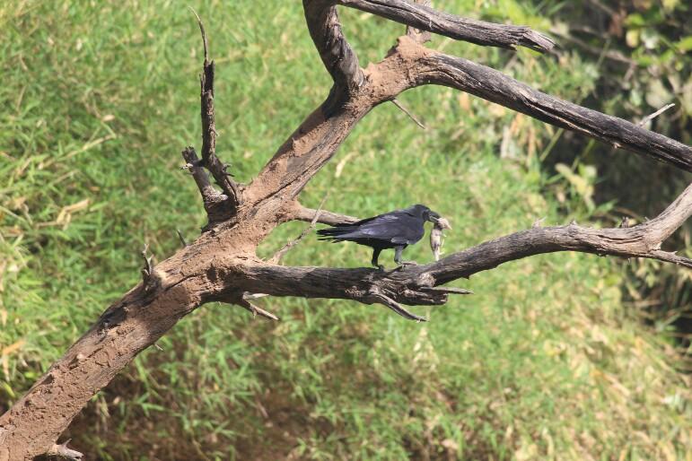 કાગડા | कौआ | Crow
