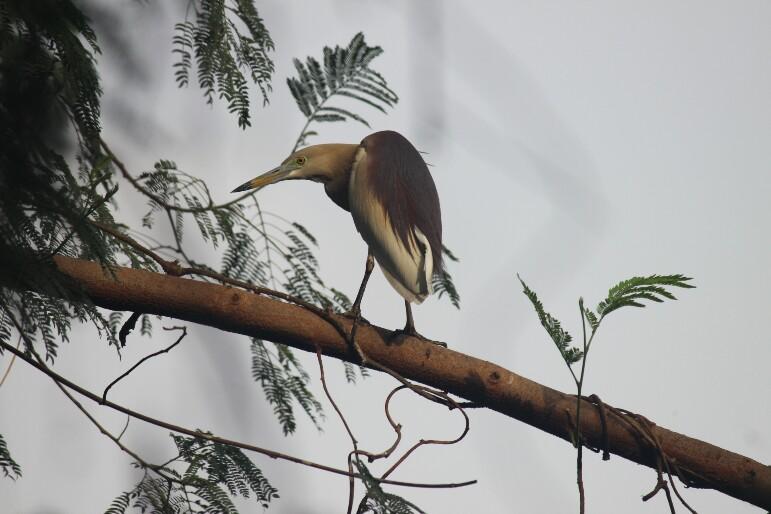 કાણી બગલી | अंधा बगुला | Indian Pond Heron