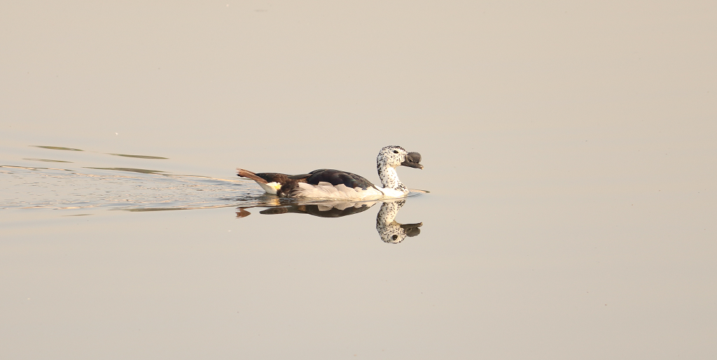 નકટો | नकटा  | Knob-billed duck