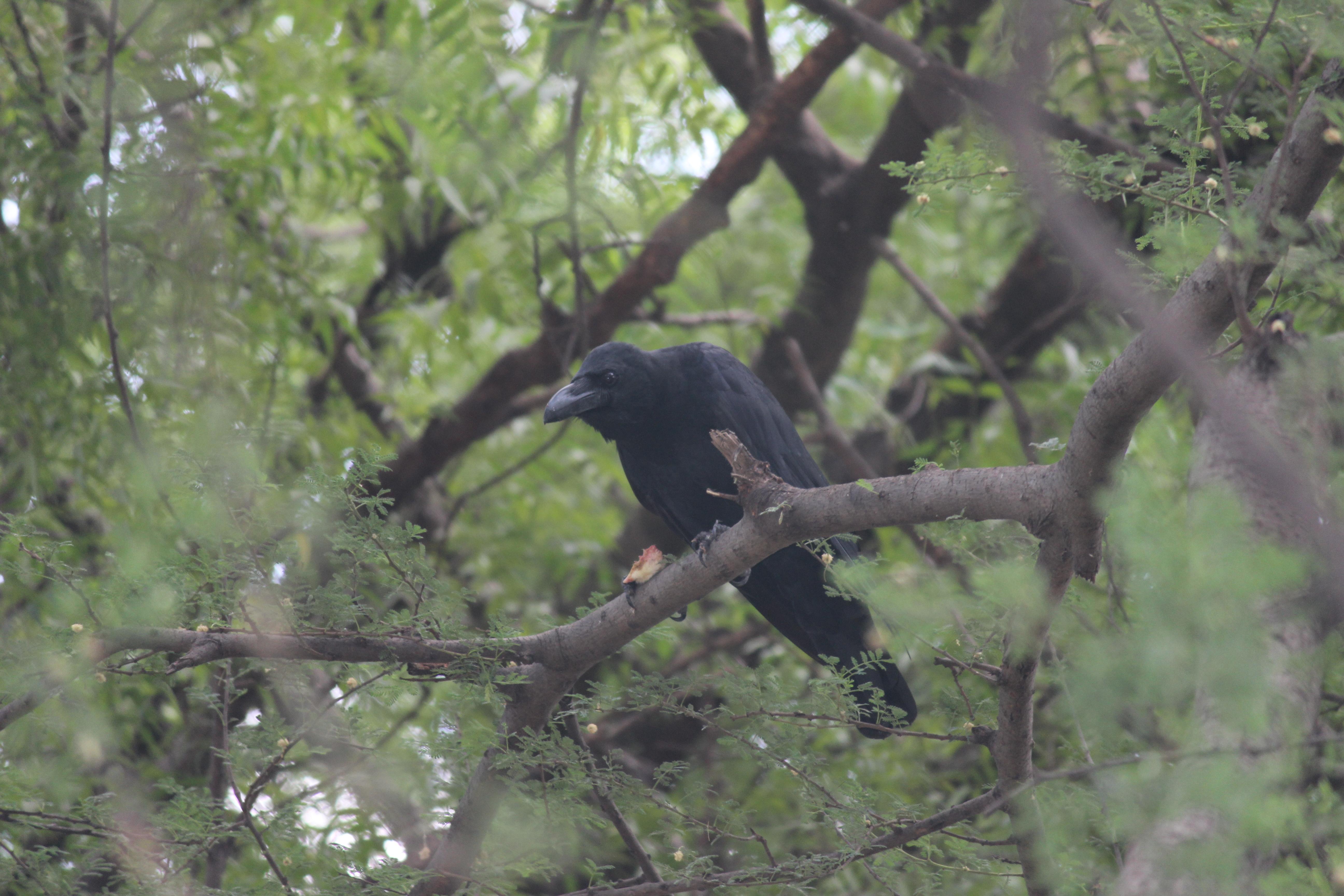 ગિરનારી કાગડો  |  जंगली कौआ  |  Jungle Crow
